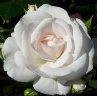 "Роза флорибунда ""Аспирин"""