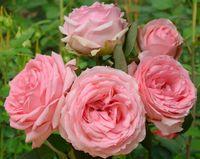"""Роза чайно-гибридная """"Ферст Леди"""""""