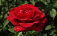 """Роза чайно-гибридная """"Эротика"""""""