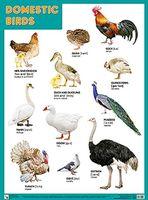 Domestic birds. Плакат