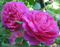 "Роза французская ""Дюшес де Ангулем"""