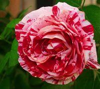 """Роза чайно-гибридная """"Стрип"""""""