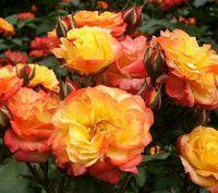 """Роза флорибунда """"Румба"""""""