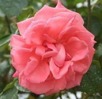 """Роза флорибунда """"Калинка"""""""