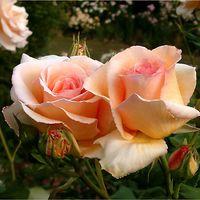"Роза чайно-гибридная ""Эприкот Нектар"""